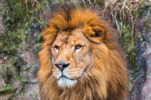 メンズ脱毛のイメージのライオン